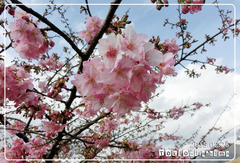miwazakura01.jpg